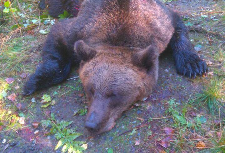 Karhunkaato Tilanne