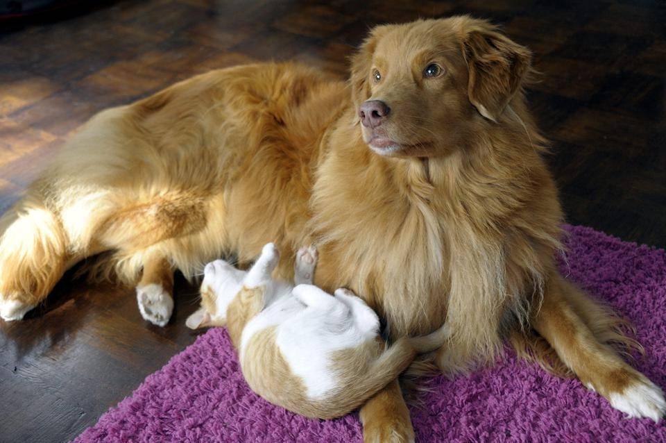 Mitä tarkoittaa, jos koira on rekisteröity ukc, akc tai ckc, ja mitä eroa näillä kolmella on?