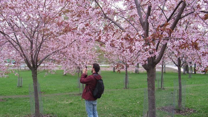 Roihuvuoren Kirsikkapuisto 2021